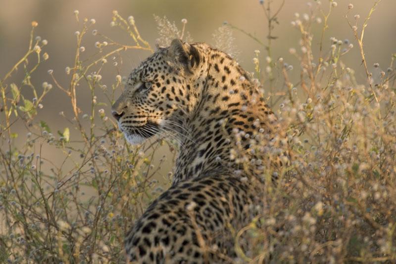 PridemoreBen_leopard