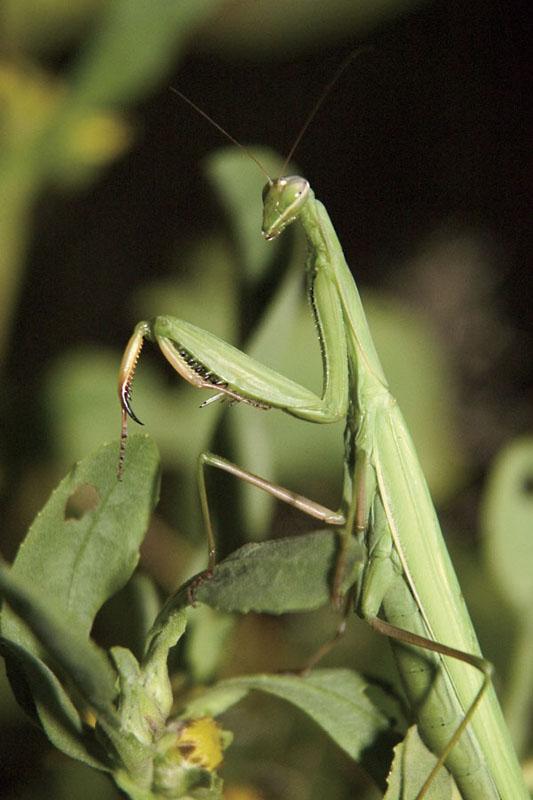 TrabertKen_preying-mantis