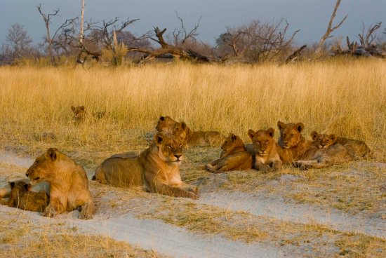 Moremi Game Reserve Lions