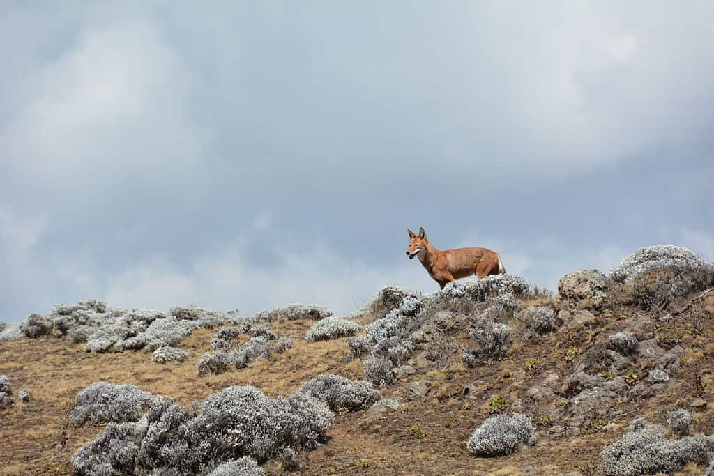 Ethiopian wolf, Bale Mountains National Park.