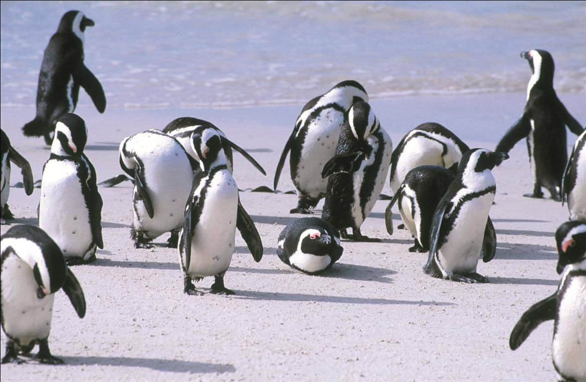 Penguins at Table Mountain National Park
