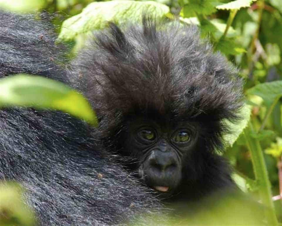 Gorilla infanct at Bwindi Impenetrable National Park