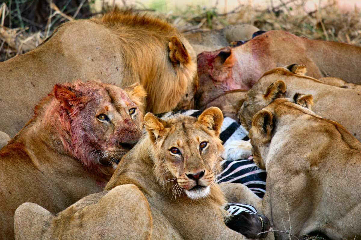 Lions Feasting on Zebra at Gorongosa National Park