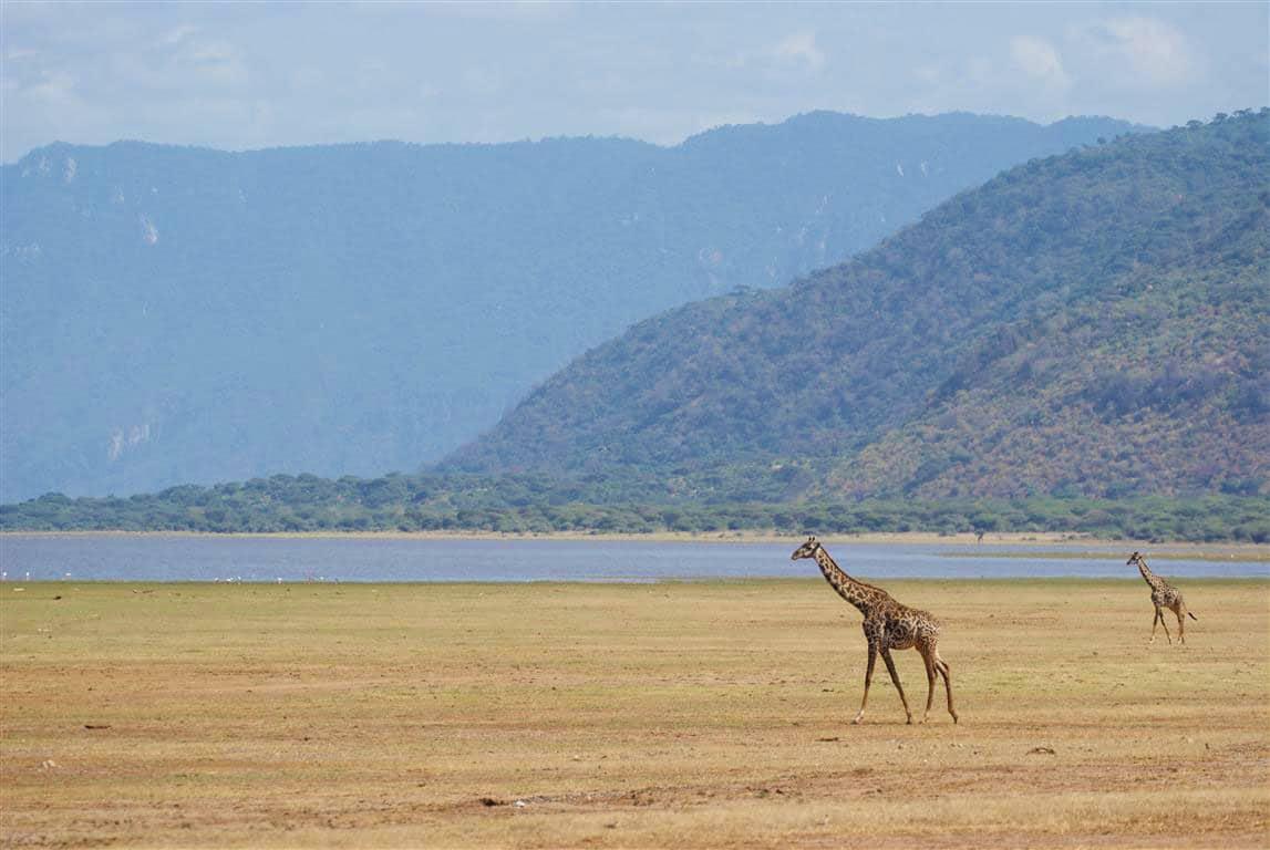 Giraffe in Lake Manyara National Park