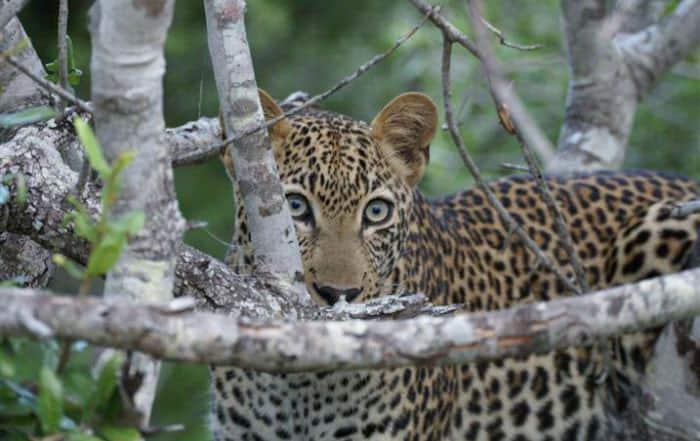 Leopard in Greater Kruger