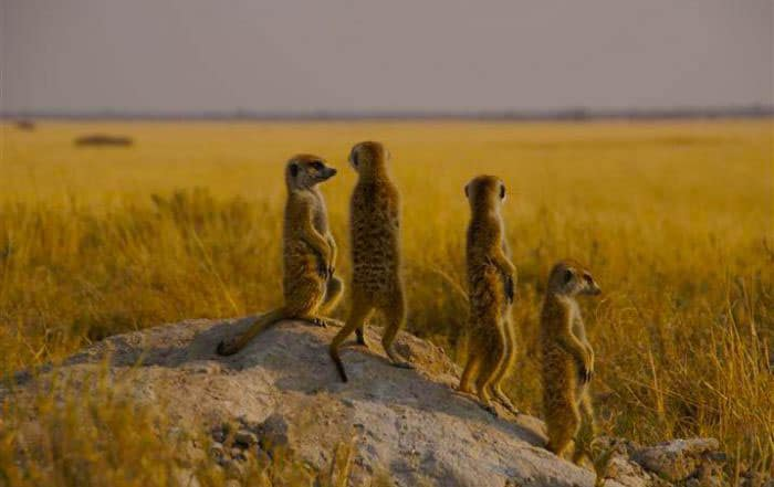 Meerkats at the Kalahari Game Reserve & Desert