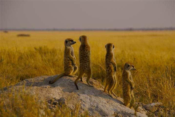 Meerkats at the Kalahari Game Reserve & Desert