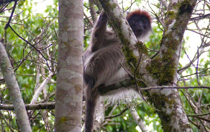 Red Colobus at Kibale Forest