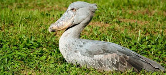 Shoebill Stalk at Mabamba Bay and Swamp