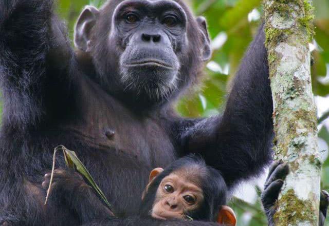 Chimps at Mahale National Park