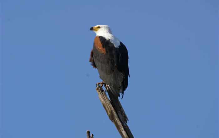 A Fish Eagle at Chobe National Park