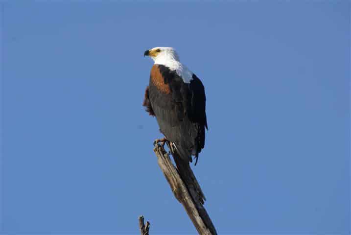 A Fish Eagle at Chobe National Park